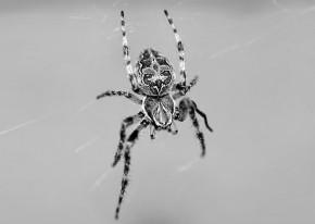 pająk-1